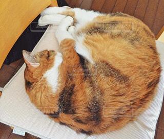 椅子で丸くなる猫の写真・画像素材[1689767]