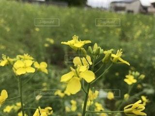 菜の花の写真・画像素材[2086753]