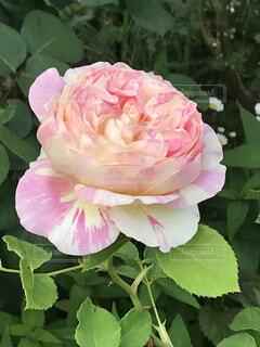 近くの花のアップの写真・画像素材[1585594]