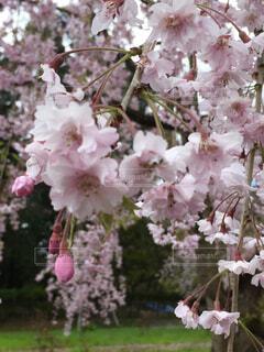 弘前公園の桜の写真・画像素材[1604629]