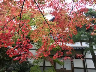 常寂光寺の紅葉の写真・画像素材[1616863]