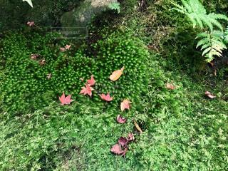 苔に落ちた紅葉の写真・画像素材[1618266]