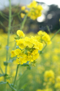浜離宮の菜の花の写真・画像素材[1623004]