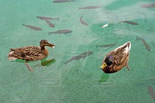 鴨とニジマスの写真・画像素材[1626213]
