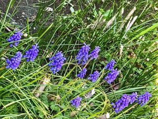 公園を彩る紫の小花の写真・画像素材[1587315]