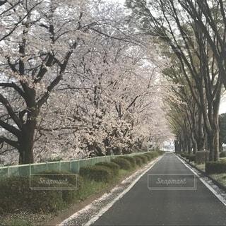 桜道の写真・画像素材[1582474]