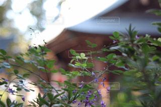 宮城野萩の花の写真・画像素材[1583490]