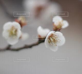 白梅が咲いているの写真・画像素材[1647840]