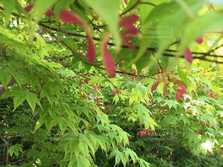 新緑の季節  モミジの実の写真・画像素材[1594428]