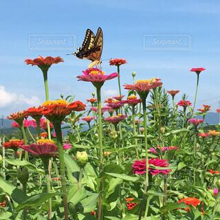 百日草とアゲハ蝶の写真・画像素材[1596047]