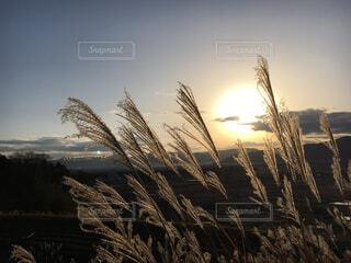 夕陽に輝くススキの写真・画像素材[1812995]