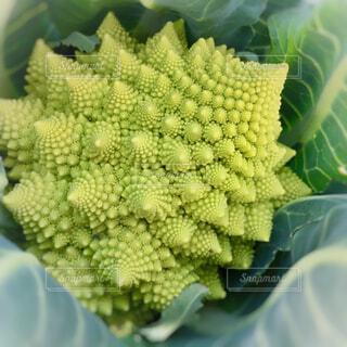 畑で栽培した野菜のアップ(ロマネスコ)の写真・画像素材[1813016]