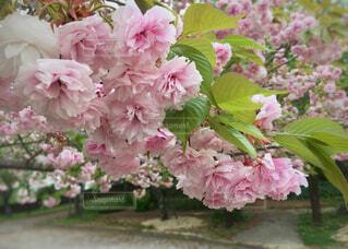 八重桜の写真・画像素材[2076805]