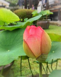 寺の庭の蓮の写真・画像素材[2247960]