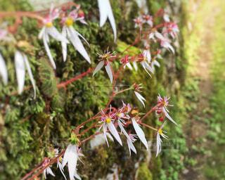 ユキノシタの花の写真・画像素材[2249791]