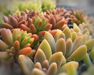 並んでいる小さな多肉植物たちの写真・画像素材[2293930]
