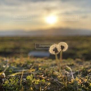 夕日に照らされて輝くタンポポの綿毛の写真・画像素材[4064617]