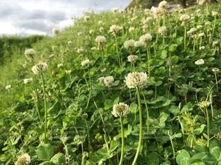 田舎に咲くのシロツメクサの花  クローバーの花の写真・画像素材[4064616]