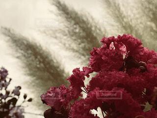 花とススキのダンスの写真・画像素材[1584618]