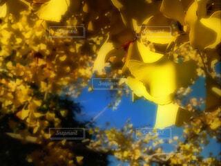 銀杏の盛りの写真・画像素材[1638206]