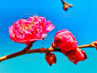 初梅の写真・画像素材[1737637]