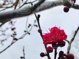 紅梅咲くの写真・画像素材[1770848]