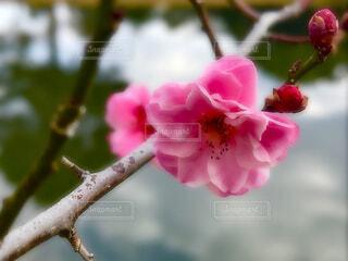 春遠からじの写真・画像素材[1787366]
