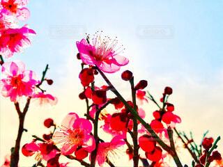 梅と空気の写真・画像素材[1817239]