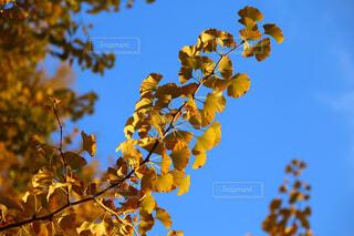 青空のイチョウの写真・画像素材[1647060]