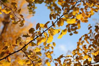 秋晴れのイチョウの写真・画像素材[1647062]