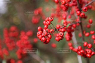 赤い実の写真・画像素材[1648932]