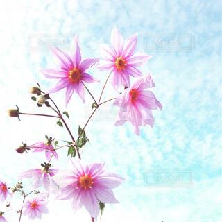 皇帝ダリアと秋空の写真・画像素材[1640168]