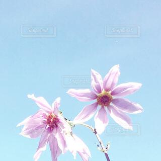 皇帝ダリアと秋空の写真・画像素材[1640169]