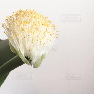 マユハケオモト開花記念の写真・画像素材[1667935]