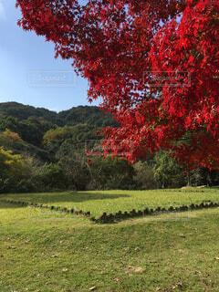 小春日の紅葉の写真・画像素材[1589704]