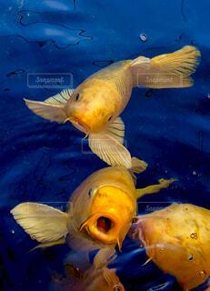 七福神のいる黄金池に泳ぐ金運の鯉たち(昇仙峡)の写真・画像素材[1599155]