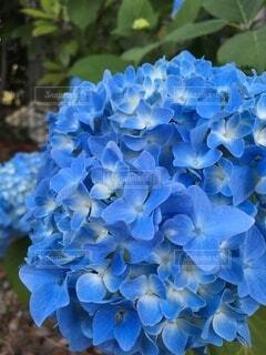 紫陽花の写真・画像素材[3313419]
