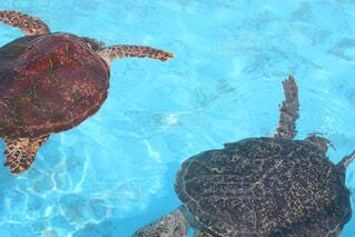 水の下で泳ぐ海亀の写真・画像素材[1590369]
