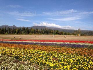 フィールド内の黄色の花の写真・画像素材[1630039]