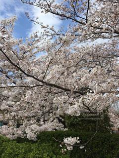 空と桜の写真・画像素材[1591736]
