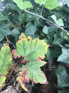 色が変わり始めたアイビーの葉の写真・画像素材[1606322]
