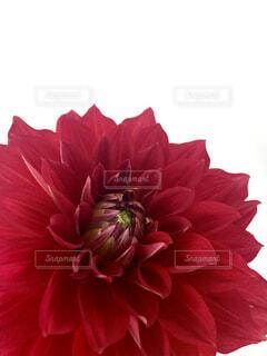 赤のダリアの写真・画像素材[2420096]