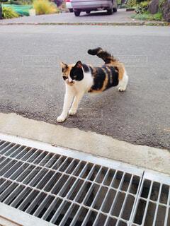 伸び猫の写真・画像素材[1629270]