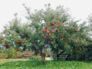 りんごの木の写真・画像素材[1629273]