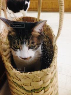 バスケットに座って猫の写真・画像素材[1664790]