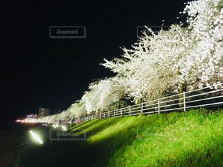 河原の桜の写真・画像素材[1679300]