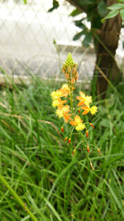 草の中の一輪の黄色い花の写真・画像素材[1594292]