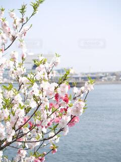 桜と海の写真・画像素材[1606817]