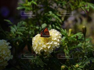 花と蝶の写真・画像素材[1606836]