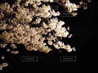 夜桜の写真・画像素材[1879014]